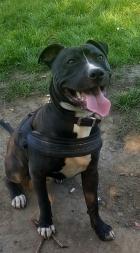 Rocco - Staff x Boxer