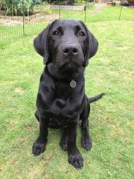 Black labrador dog sitting on grass