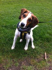 Archy - Beagle