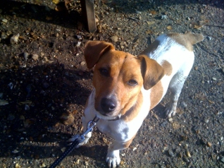 Boo - Jack Russell Terrier