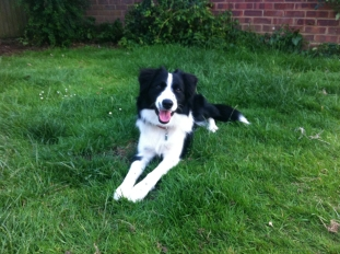 Cassie - Border Collie