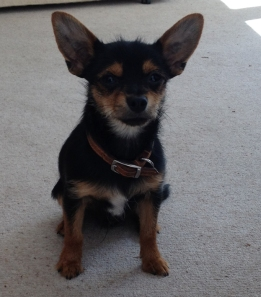 Louie - Chihuahua X Yorkie