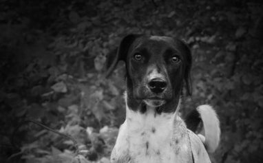Black and white picture of Black and White Jack Russell Terrier