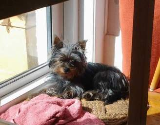 Snuffles - Yorkshire Terrier