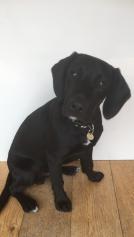 Black labrador x poodle sitting on brown wooden floor