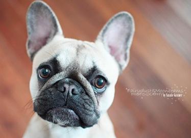 Bella - French Bulldog