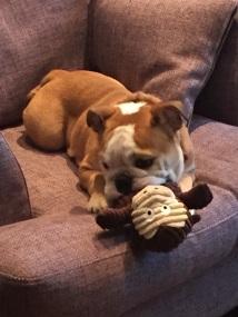 Alfie - Bulldog