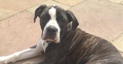 Molly - Alapaha Bulldog
