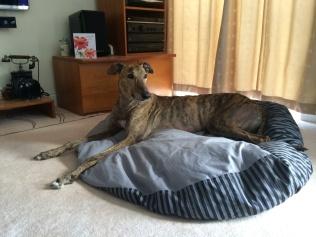 Tai - Greyhound