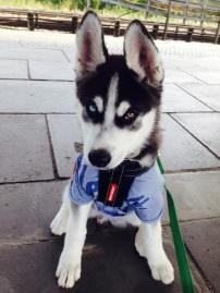 Loki - Siberian Husky
