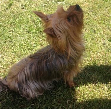 Lola - Yorkshire Terrier