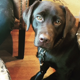 Chocolate Colour Labrador sitting