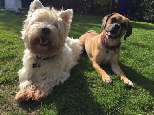 Milly Pug x Beagle and Robbie WestHighland White Terrier