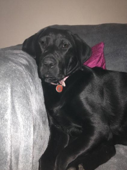 Libby - Labrador