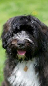 Bix - Tibetan Terrier