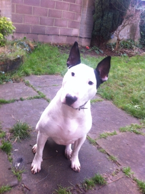 Roddy - English Bull Terrier