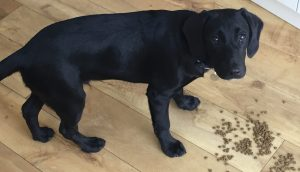 Black Labrador x poodle on wooden floor with food scattered