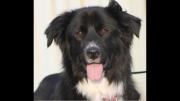Black and white Newfoundland dog panting