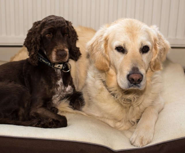 Charlie Cocker Spaniel and Maddie Goldern Retriever