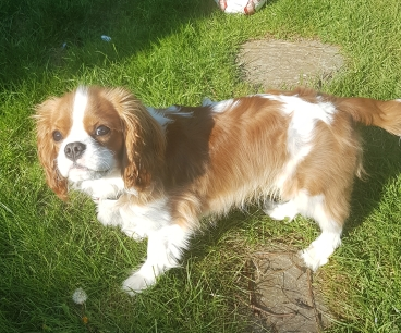 White and red Cavelier King Charles Spaniel standing on the grass looking at owners