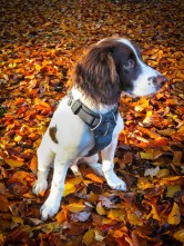 Liver and white Springer Spaniel sitting in autumn leaves