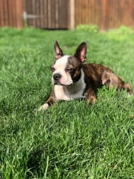 Boston Terrier laying in grass