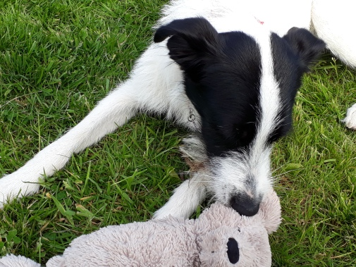 Black and white Lurcher Dog laying on the grass with a teddy bear