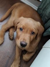 Milo - Labrador