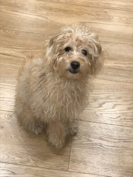 Eric - Jack Russell x Poodle