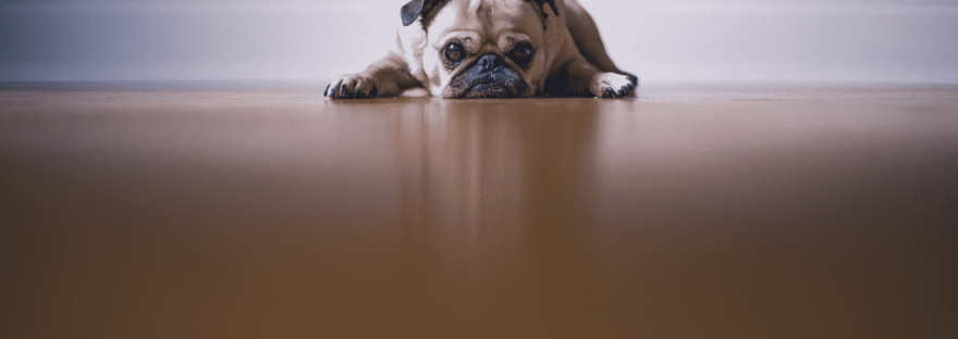 Pug Lying Down in Resignation on Wooden Floor with skirting board in background