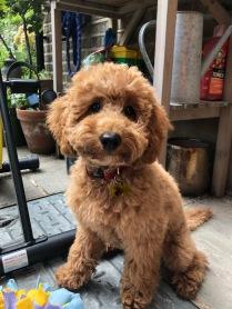 Frankie - Poodle
