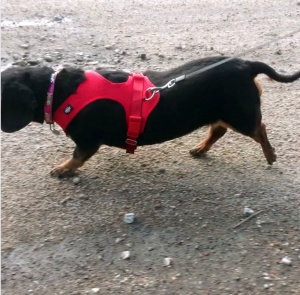 Dachund with poorly fitted red harness